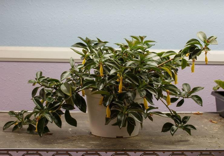 Описание и фото грегариуса радиканса, тропиканы и других популярных видов растения нематантус