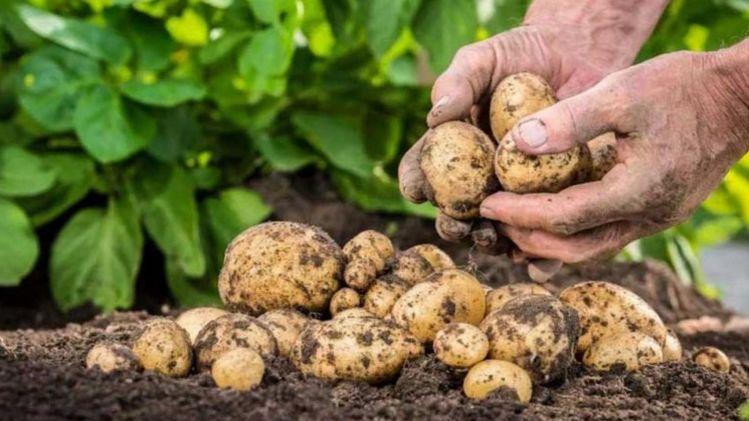Выращивание раннего картофеля. видео.