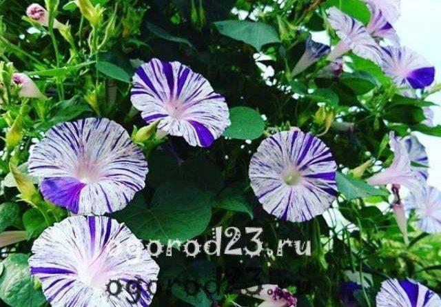 Ипомея — посадка и уход, фото, советы, опыт выращивания