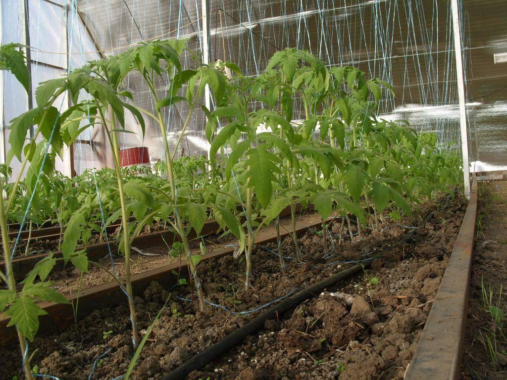 Особенности выращивания арбузов в сибири