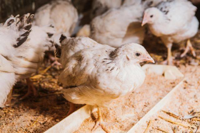 Болезни цыплят бройлеров: симптомы и лечение