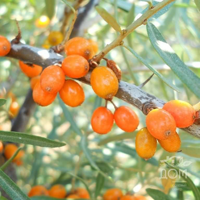 Как быстро и эффективно собирать облепиху: мудрые советы ценителям оранжевой ягоды