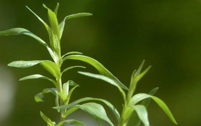 Целебные свойства экстракта тархуна, его приготовление и применение в кулинарии и народной медицине