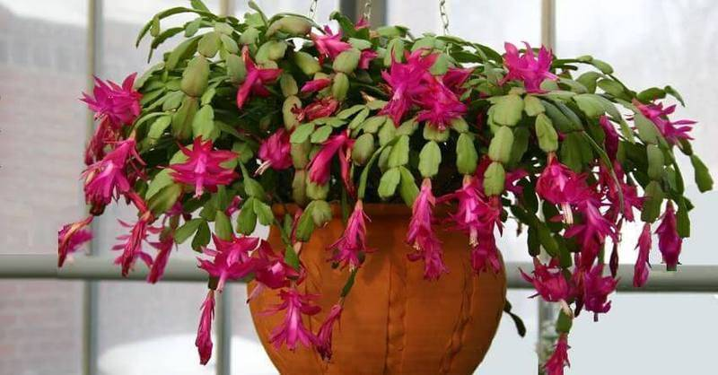 Зигокактус: фото, виды и уход за кактусом в домашних условиях