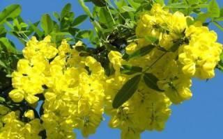 Акация желтая: описание, размножение и секреты выращивания