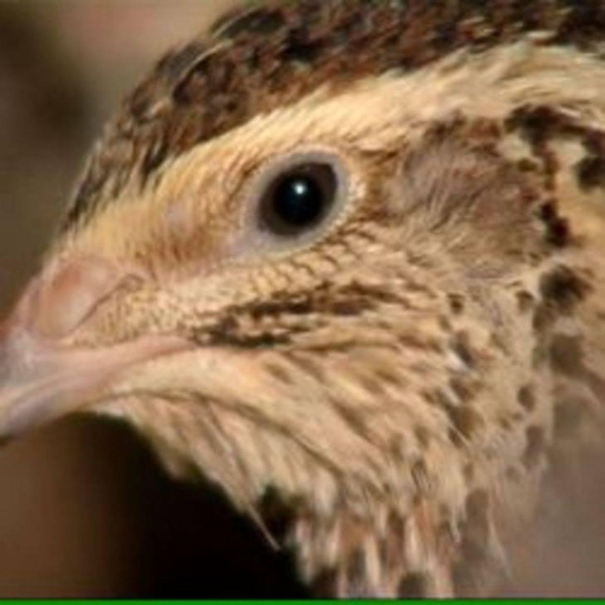 Птицеводство: содержание взрослых перепелов