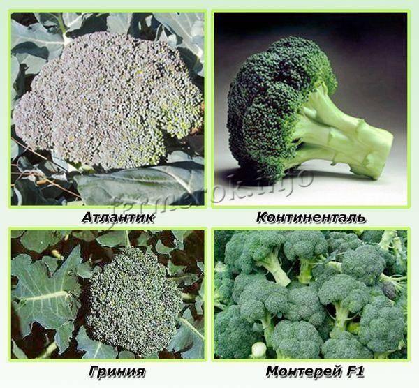 Капуста брокколи — выращивание из семян