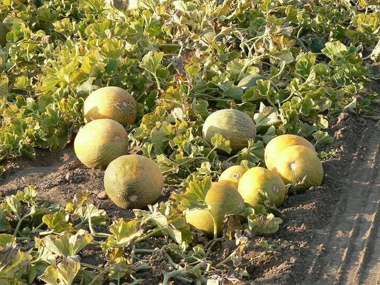Сажаем арбузы правильно: инструкции для начинающих и подсказки для урожайного года