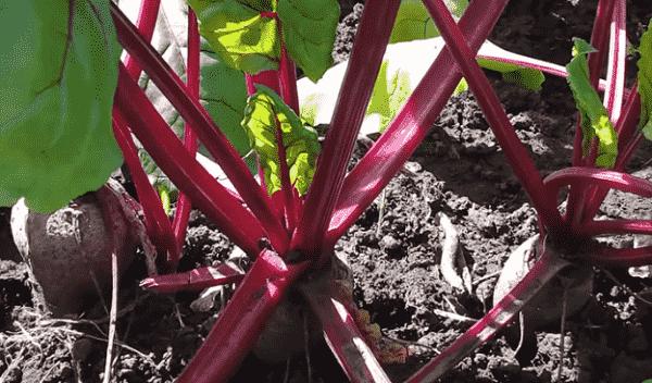 Весенний посев свеклы: как не совершить ошибок