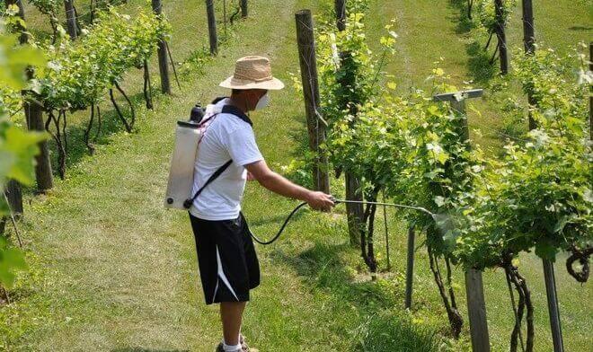 Медный купорос – простое и эффективное средство для профилактической обработки виноградника