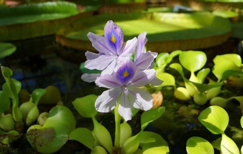 Водный гиацинт или роскошная клумба прямо на воде
