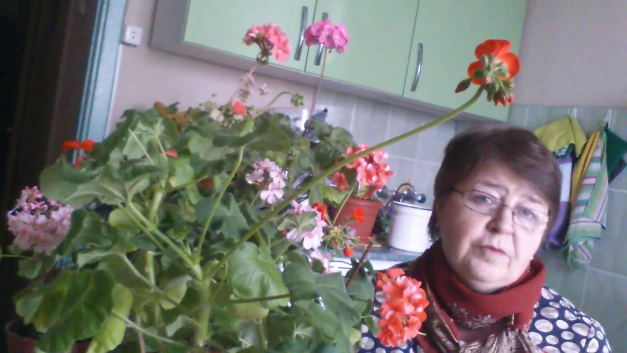 Чем поливать герани чтобы обильно цвели?