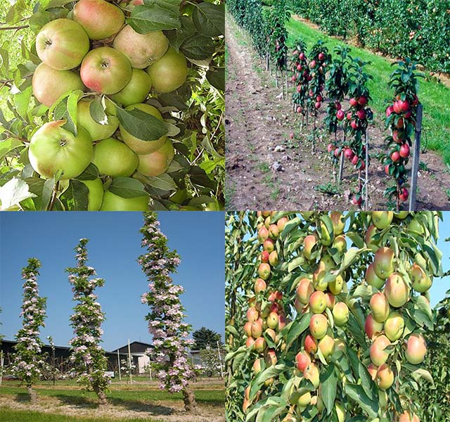 Востребованные сорта колоновидных яблонь – 5 особенностей и сортовые характеристики