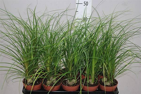Выращивание бокарнеи из семян в домашних условиях