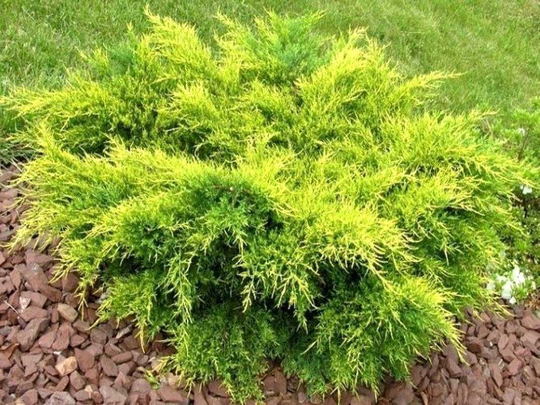 Можжевельник казацкий: посадка и уход за вечнозеленым кустарником