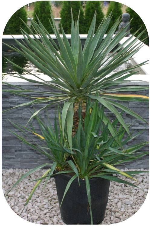 Разновидности юкки: описания растений с названиями и фото