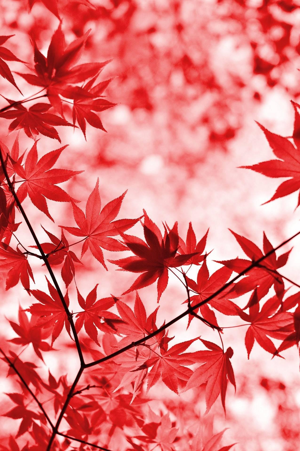 Садовое растение с листьями, как у клена — шикарный кленолистник