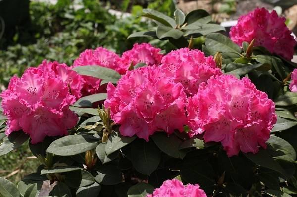 Подкормка гортензии весной и летом: чем удобрить для пышного цветения