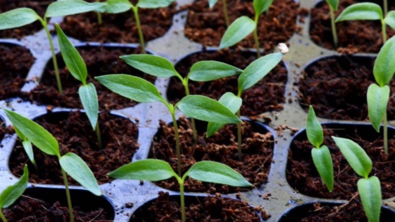 Выращивания лобелии – посадка и уход, как вырастить лобелию из семян