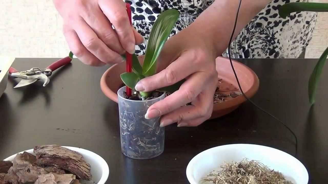 Просто и быстро размножаем орхидею: как посадить детку цветка?