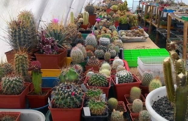 Выращиваем кактусы дома из семян. все что нужно знать