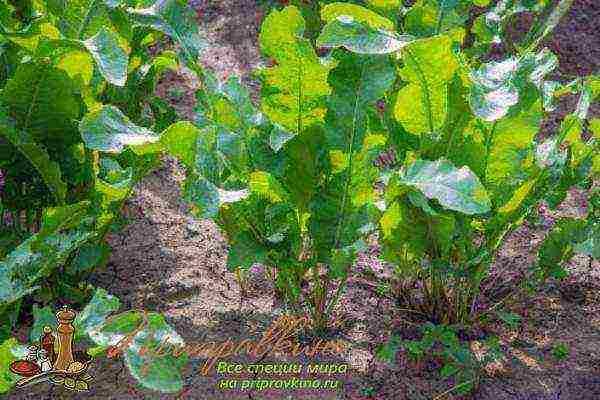 Хрен – выращивание и размножение