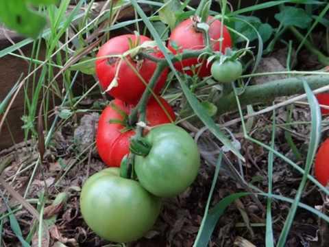Тонкости выращивания, характеристика и описание томата сахарный бизон