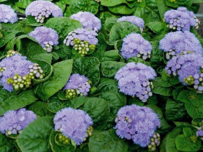Низкорослые цветы для сада: однолетники и многолетники
