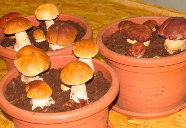 Вот это удача — белые грибы на даче!