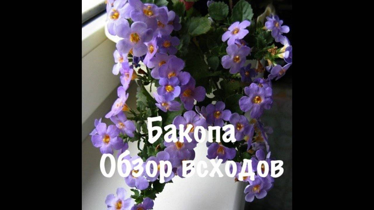 Бакопа: уход и выращивание из семян, сохранение зимой