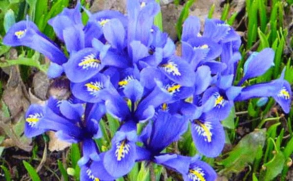 Посадка, выращивание и уход за луковичными ирисами – секреты садоводов