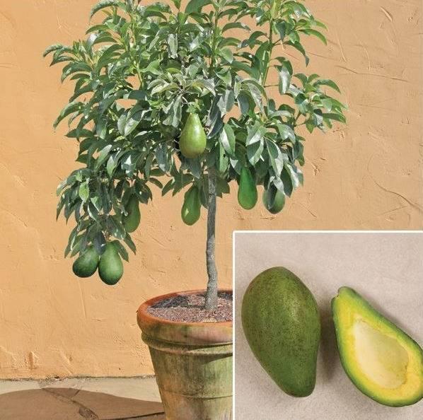 Авокадо – дерево, обладающее уникальным внешним видом