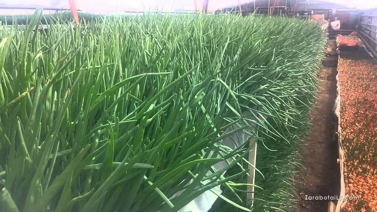 Лук на перо: выгонка и выращивание лука на зелень в теплице и в домашних условиях