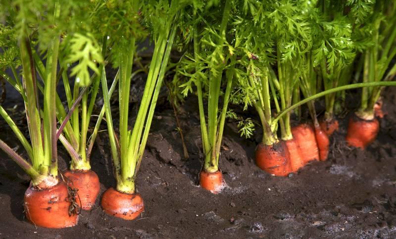 Выбираем способ посадки моркови без прореживания