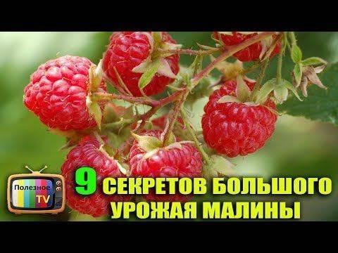 Как вырастить малину по методу соболева?