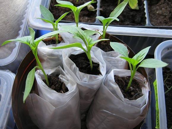 Как посадить и выращивать огурцы в открытом грунте под пленку