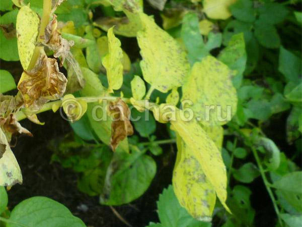 Желтеет ботва и листья у картофеля: причины, что делать