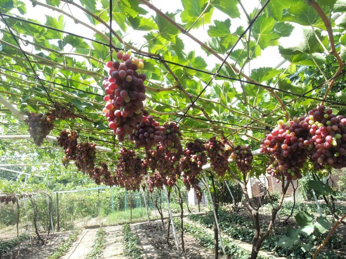 Формирование куста винограда: схемы и полезные советы для начинающих