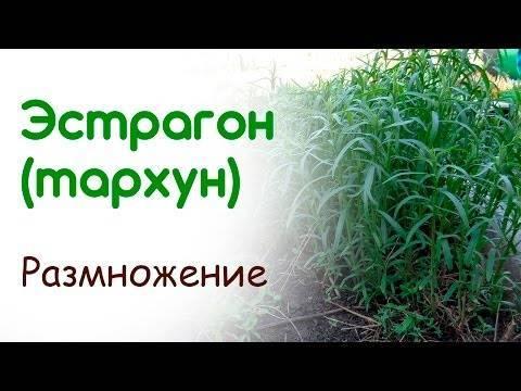 Знаменитый тархун: всё о выращивании эстрагона
