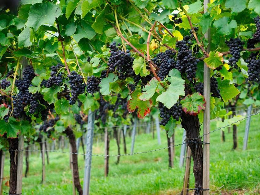 Обрезка винограда летом – когда и как обрезать