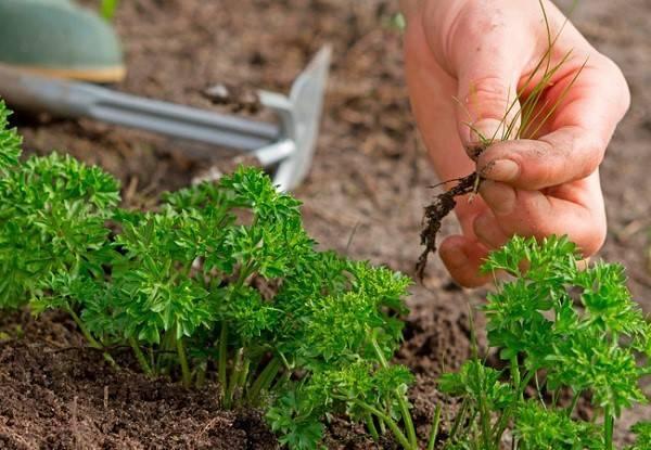 Петрушка - как и когда сеять семена, подготовка грядки, видео