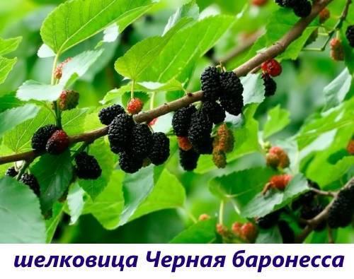 А вам интересно, растет ли в Сибири шелковица