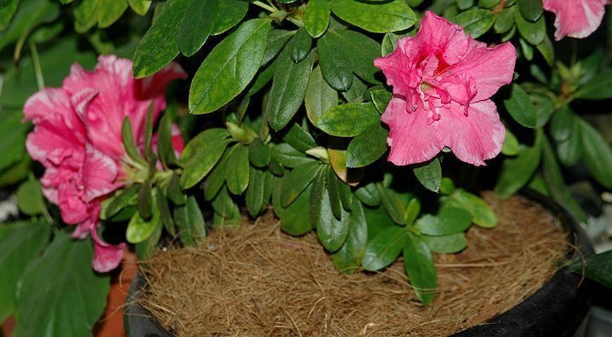 Комнатные цветы азалия: как размножить и пересадить в домашних условиях?