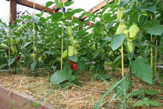 Особенности выращивания сладкого перца в теплице