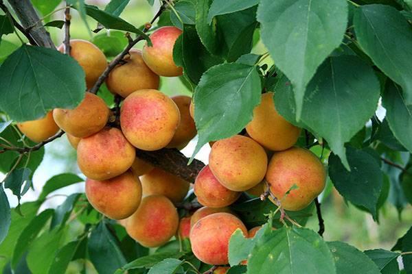 Фрукты жердела и абрикос — в чем разница