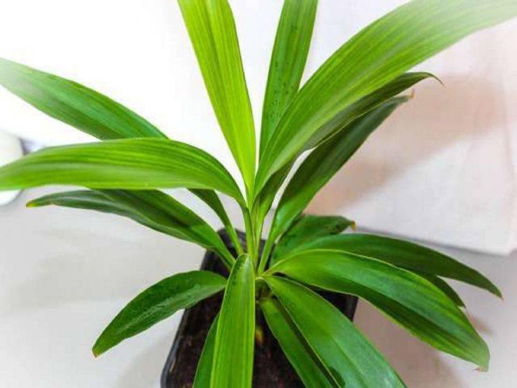 Кордилина: уход в домашних условиях, освещение, размножение из семян
