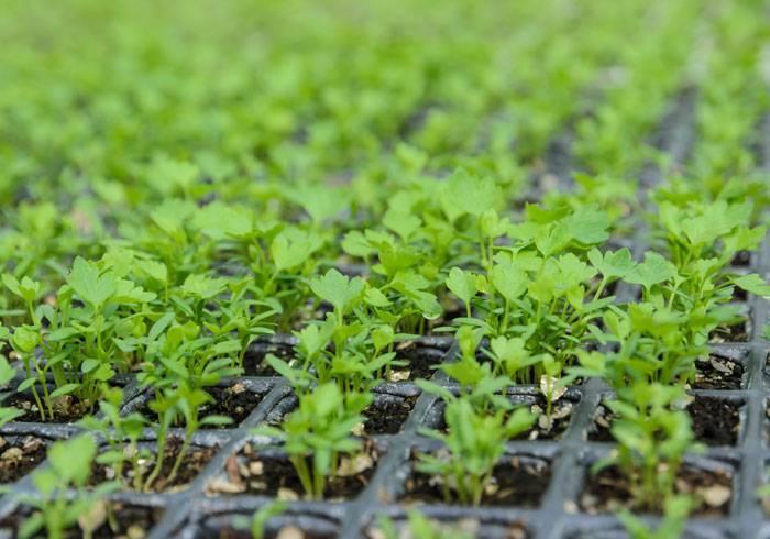 Корневой сельдерей, выращивание и уход в открытом грунте
