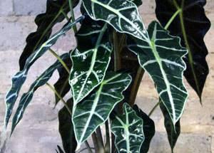 Интересная история об уникальном растении влажных тропиков алоказии