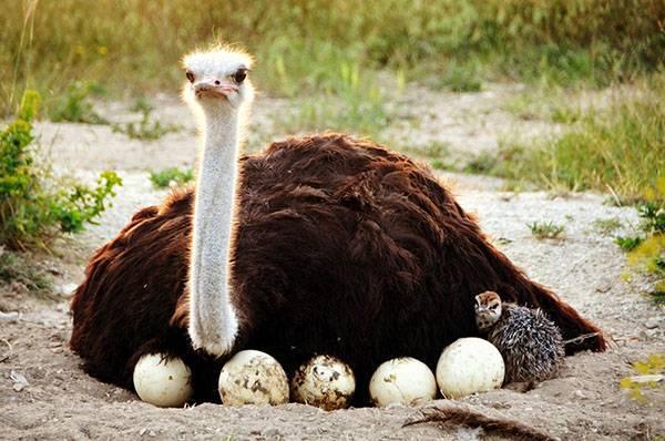 Как часто несутся страусы: факторы, влияющие на продуктивность