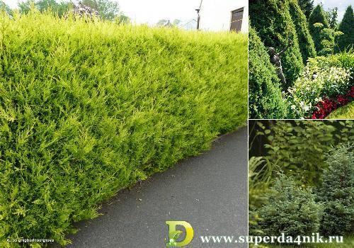 Живая изгородь (быстрорастущая многолетняя вечнозеленая): названия и фото